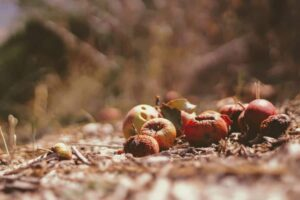 Decomposing fruit on the ground